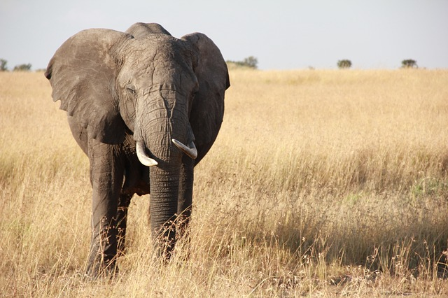 elephant in grassland